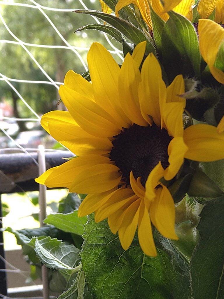Sony Xperia 10 II Kamera Testbild Sonneblume1
