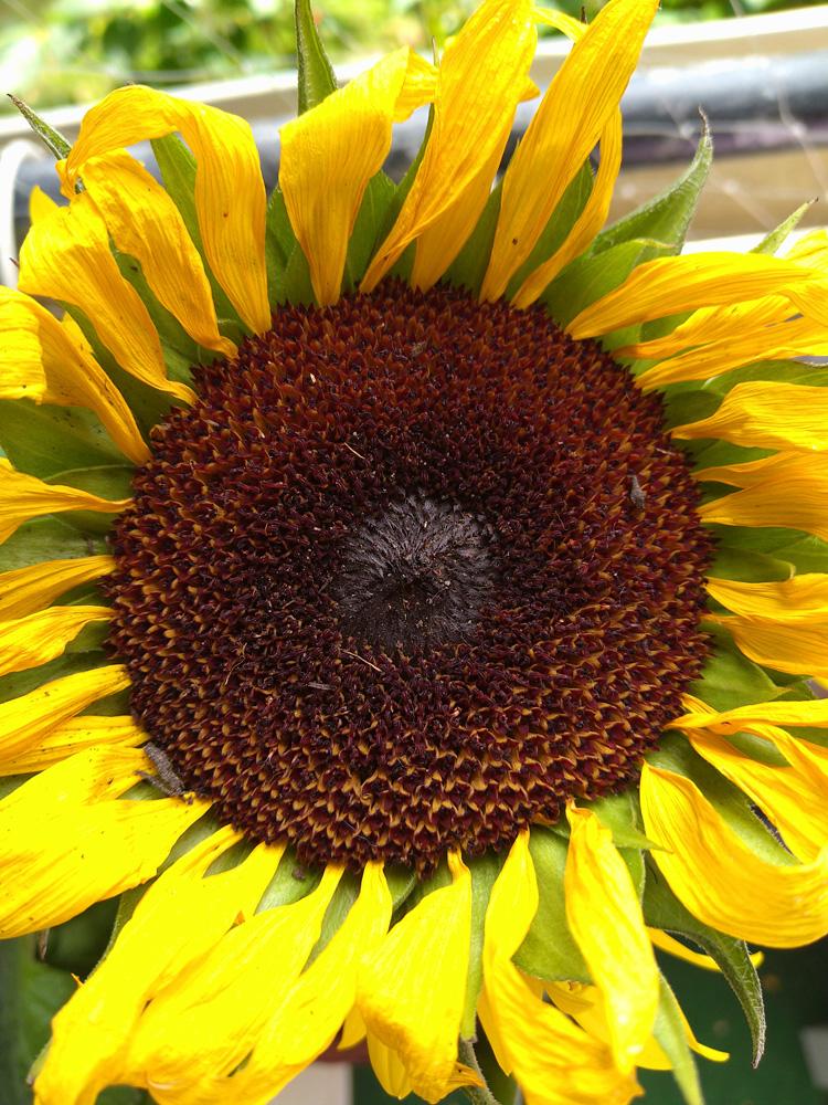 Sony Xperia 10 II Kamera Testbild Sonneblume2